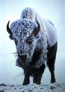 428px-Snow-covered_Bison_bison